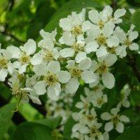 Черёмуха цветёт :: Вера Щукина