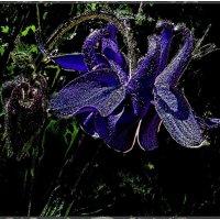 Аквилегия - синее ночи... :: Нина Корешкова