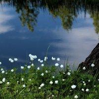 Цветут анемоны :: Екатерина Торганская