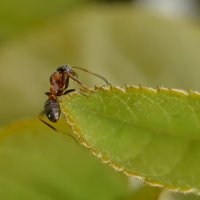 муравей :: Юрий Бичеров