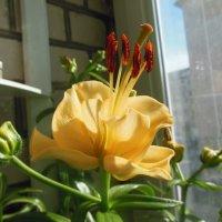 Необычная лилия! :: Татьяна