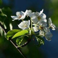 Расцветали яблони и груши..... :: Paparazzi
