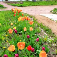 тюльпаны :: Сергей Кочнев