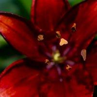 Красная лилия :: Александр Юрченко