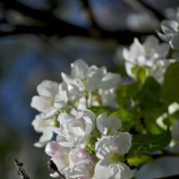 Яблоня в цвету :: Totono Dvorov
