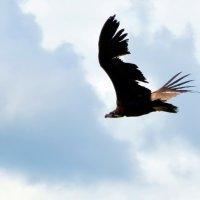 Полет черного грифа :: Ольга Голубева