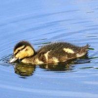Сейчас на озере встретишь утят разных возрастов, от недели до месяца с небольшим :: Маргарита Батырева