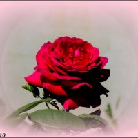 Майская роза :: Нина Бутко