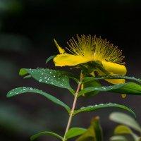 Цветок в росе :: Valentina M.