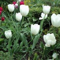 Белоснежные тюльпаны в городских клумбах! :: Ольга Кривых