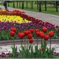 Про тюльпаны :: Владимир Белов
