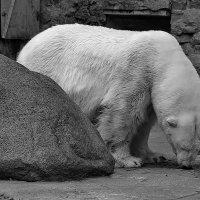 Серые будни белого мишки... :: Tatiana Markova