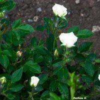 Белые розы.... :: Любовь К.