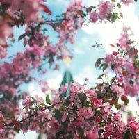 Цветение яблони) :: Татьяна Тимофеева