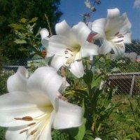 Белые лилии :: Виктор Елисеев