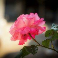 Майская роза :: Виктор Чепишко