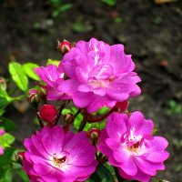 Три розы :: Сергей Карачин