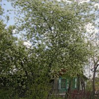 Ветерок и черёмуха возле дома :: Алексей Хвастунов