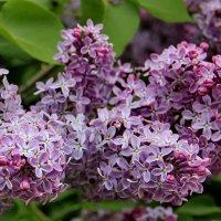 Сирень цветёт. :: Маргарита ( Марта ) Дрожжина
