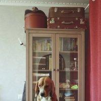 Портрет бигля в интерьере :: Тата Казакова