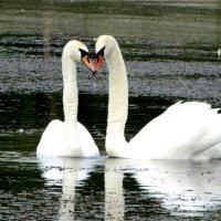 Лебеди!!))) :: Дина Дробина