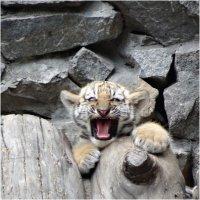 тигр :: Аркадий Лаптенко