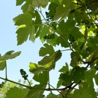 Виноградные грозди :: Владимир Болдырев
