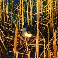 Озерная чайка на гнезде :: Дмитрий Стрельников