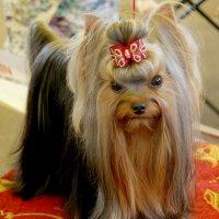 Маленькая собака с комплексом Наполеона :: Galina Belugina