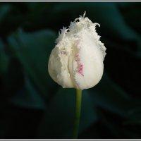 Тюльпан :: muh5257
