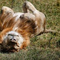 Лев, наслаждающийся солнцем в Масай-Мара. :: Ольга Петруша