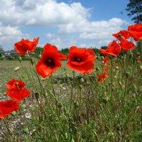 Прекрасны утром маки полевые... :: Galina Dzubina
