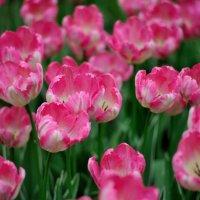 время тюльпанов... #2 :: Андрей Вестмит