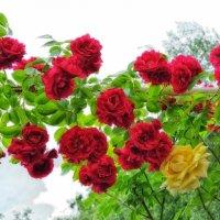 Роза вьющаяся... :: *MIRA* **