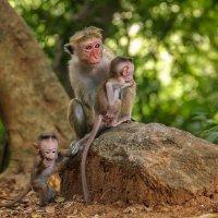 Шри-Ланкийская мартышка  с детенышами :: Ольга Петруша
