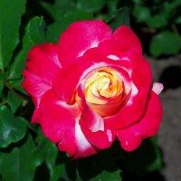 Разнообразные розы. :: Любовь К.