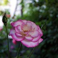 "Роза ""Гендель"" - Rosa Handel :: Александр Корчемный"