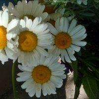 Милые моему сердцу ромашки :: Нина Корешкова