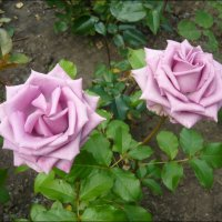 Необыкновенные розы! :: Надежда