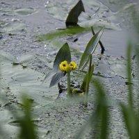 желтая кубышка :: оксана