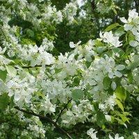 Дивное время, когда цветут яблони :: Елена Павлова (Смолова)