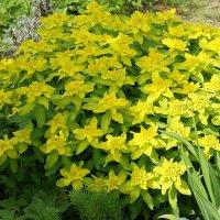 Щедрое цветение .  Euphorbia polychroma (молочай многоцветный) :: Елена Павлова (Смолова)