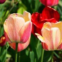 .....о тюльпанах :: Paparazzi