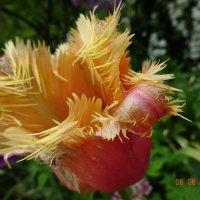 Тюльпанное разнообразие ... :: Galina194701