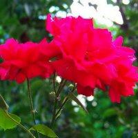 Вьющаяся (Плетистая) роза. :: Любовь К.