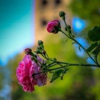 Роза :: Ирина ...............