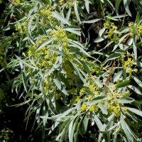Цветёт дикая маслина :: Нина Бутко