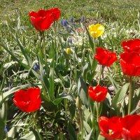 Алые тюльпаны :: Валюша Черкасова