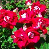 Красно-белые розы. :: Любовь К.