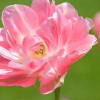 Розовый полет :: Swetlana V